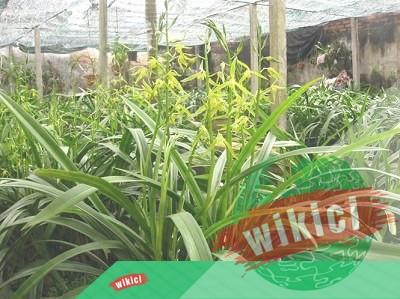 Các loại địa lan – Thú vui tao nhã trồng hoa tại nhà-1
