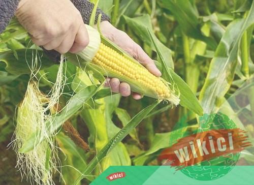 Cách trồng bắp (ngô) cho năng suất cao-1