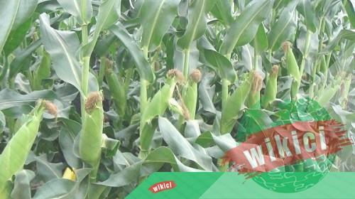 Cách trồng bắp (ngô) cho năng suất cao-2
