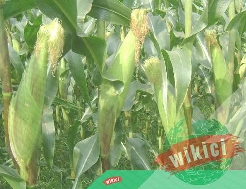 Cách trồng bắp (ngô) cho năng suất cao-4