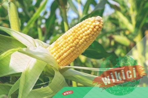Cách trồng bắp (ngô) cho năng suất cao-5