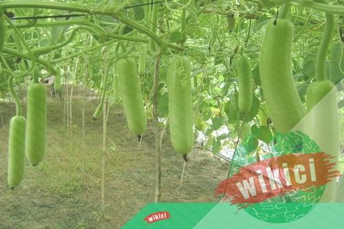 Cách trồng bầu cho nhiều quả ăn không hết-1