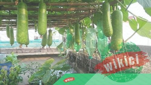 Cách trồng bầu cho nhiều quả ăn không hết-2