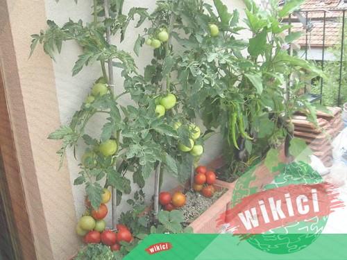 Cách trồng cà chua nhanh lớn, sai trĩu quả trong thùng xốp, chậu-1