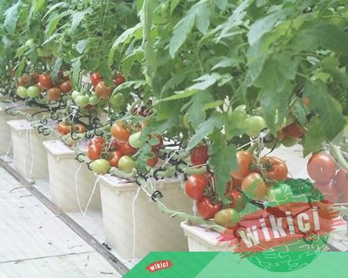 Cách trồng cà chua nhanh lớn, sai trĩu quả trong thùng xốp, chậu-3