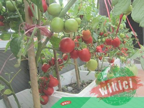 Cách trồng cà chua nhanh lớn, sai trĩu quả trong thùng xốp, chậu-4