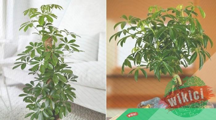 Cách trồng, chăm sóc và ý nghĩa phong thủy của cây ngũ gia bì-1