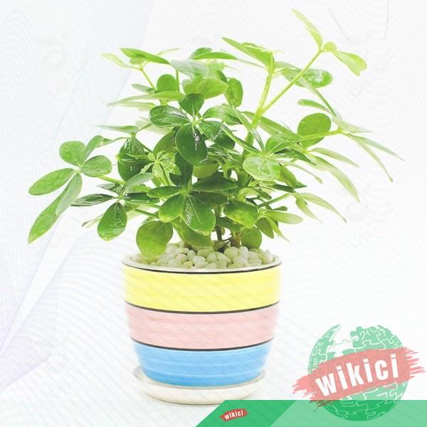 Cách trồng, chăm sóc và ý nghĩa phong thủy của cây ngũ gia bì-2