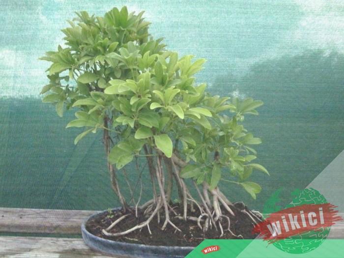 Cách trồng, chăm sóc và ý nghĩa phong thủy của cây ngũ gia bì-3