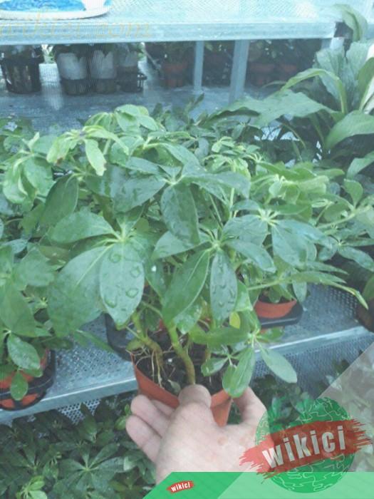 Cách trồng, chăm sóc và ý nghĩa phong thủy của cây ngũ gia bì-4