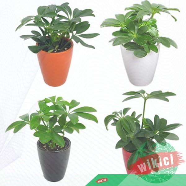 Cách trồng, chăm sóc và ý nghĩa phong thủy của cây ngũ gia bì-5