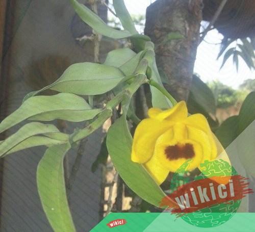 Cách trồng lan trầm vàng đẹp đơn giản tại nhà-2