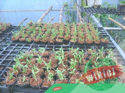 Cách trồng lan trầm vàng đẹp đơn giản tại nhà-3
