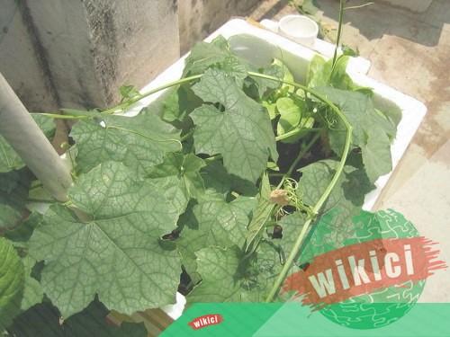 Cách trồng mướp trong thùng xốp tại nhà cho nhiều trái ngọt-3