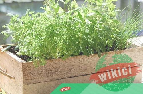 Cách trồng rau thơm tại nhà đơn giản-4