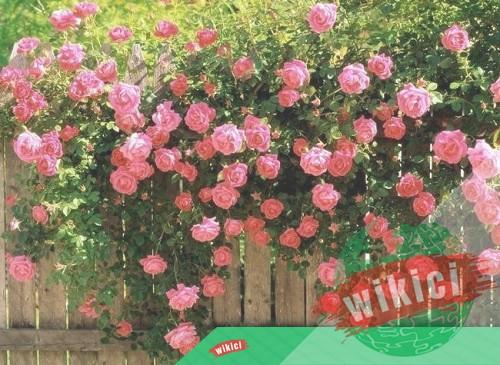 Cách trồng và chăm sóc hoa hồng leo ra hoa nở rực-1