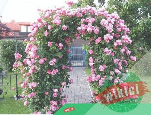 Cách trồng và chăm sóc hoa hồng leo ra hoa nở rực-2