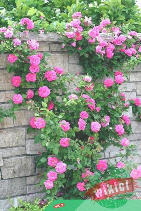 Cách trồng và chăm sóc hoa hồng leo ra hoa nở rực-3