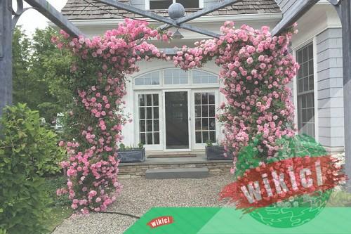 Cách trồng và chăm sóc hoa hồng leo ra hoa nở rực-4