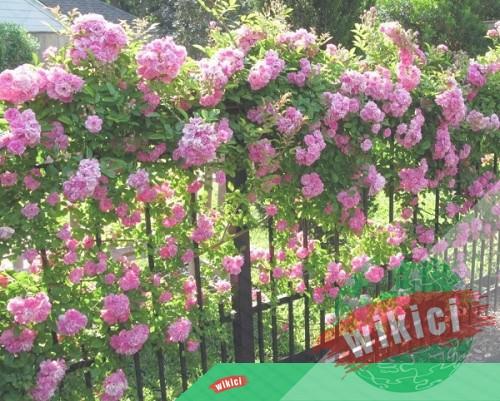 Cách trồng và chăm sóc hoa hồng leo ra hoa nở rực-5