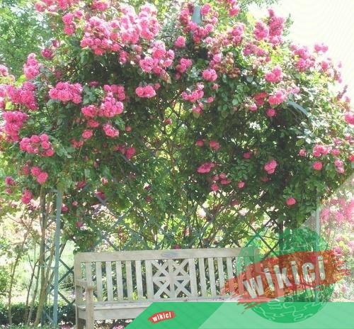 Cách trồng và chăm sóc hoa hồng leo ra hoa nở rực-6