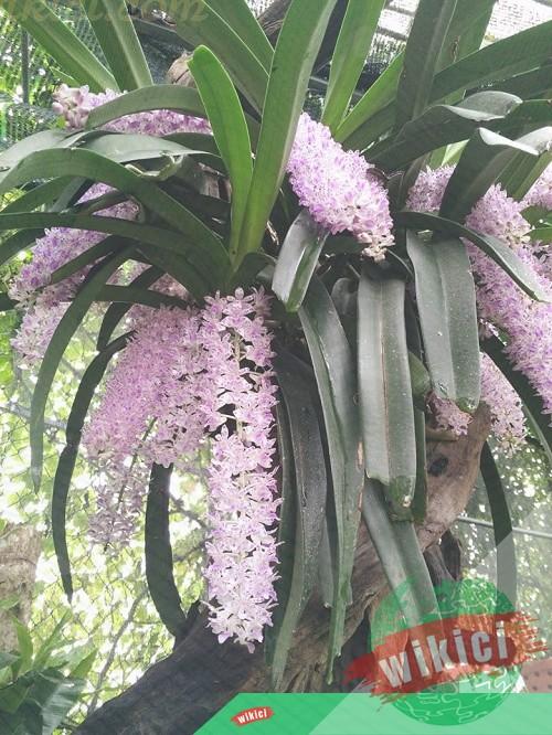 Cách trồng và chăm sóc lan đuôi chồn ra hoa đẹp như ý-2