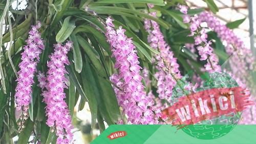 Cách trồng và chăm sóc lan đuôi chồn ra hoa đẹp như ý-4