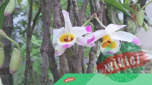 Cách trồng và chăm sóc lan Hoàng thảo u lồi ra nhiều hoa-1