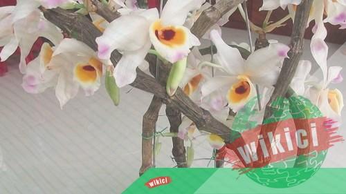 Cách trồng và chăm sóc lan Hoàng thảo u lồi ra nhiều hoa-3