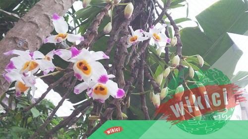 Cách trồng và chăm sóc lan Hoàng thảo u lồi ra nhiều hoa-4