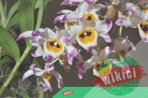 Cách trồng và chăm sóc lan Hoàng thảo u lồi ra nhiều hoa-5