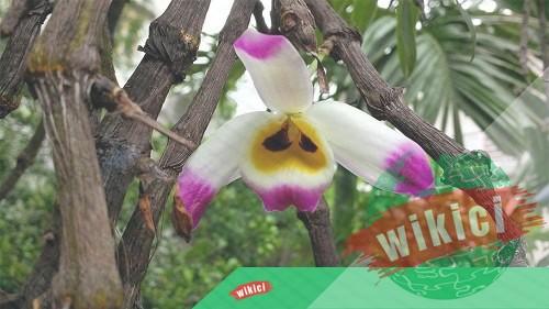 Cách trồng và chăm sóc lan Hoàng thảo u lồi ra nhiều hoa-6