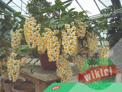 Cách trồng và chăm sóc lan kiều vàng ra hoa đẹp-1