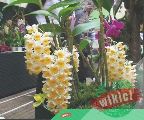 Cách trồng và chăm sóc lan kiều vàng ra hoa đẹp-2