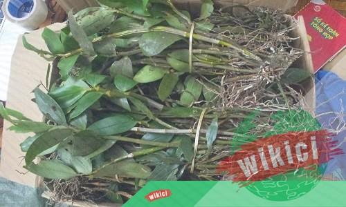 Cách trồng và chăm sóc lan kiều vàng ra hoa đẹp-3
