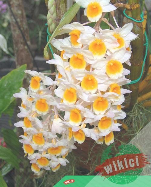 Cách trồng và chăm sóc lan kiều vàng ra hoa đẹp-4