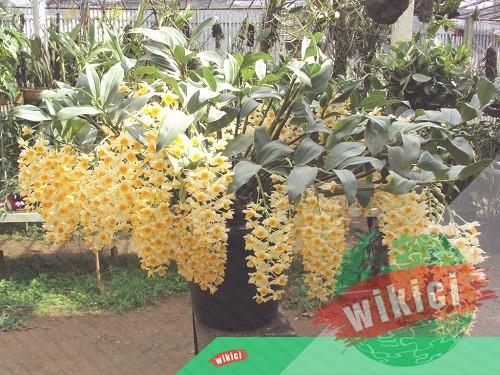 Cách trồng và chăm sóc lan kiều vàng ra hoa đẹp-5