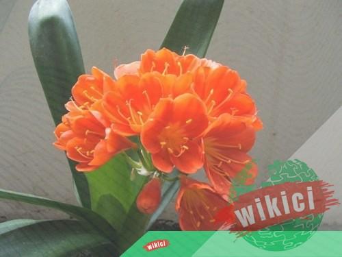 Cách trồng và chăm sóc lan quân tử ra nhiều hoa-3