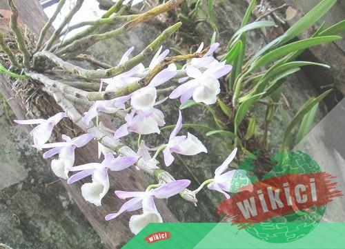Cách trồng và chăm sóc lan rừng nở hoa như ý muốn-2