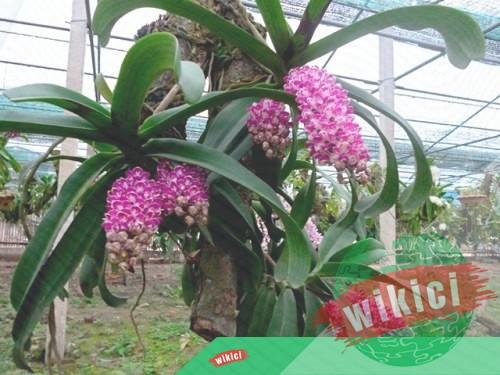 Cách trồng và chăm sóc lan rừng nở hoa như ý muốn-4