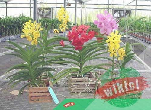 Cách trồng và chăm sóc lan Vanda nở thật nhiều hoa-1