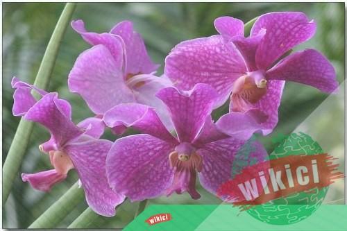 Cách trồng và chăm sóc lan Vanda nở thật nhiều hoa-3