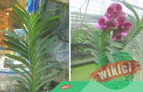 Cách trồng và chăm sóc lan Vanda nở thật nhiều hoa-4