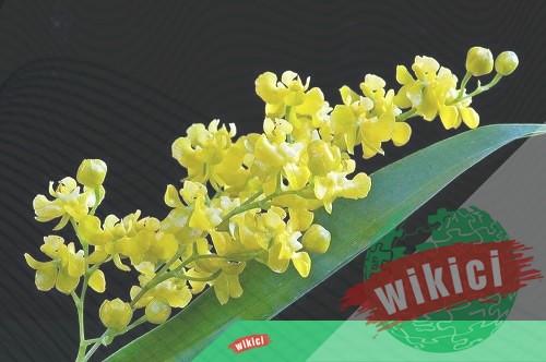 Cách trồng và chăm sóc lan vũ nữ đúng cách ra hoa nhiều-3