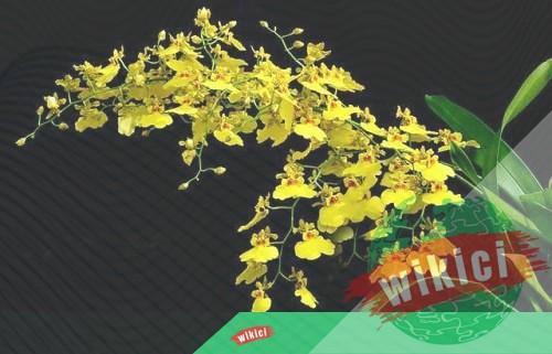 Cách trồng và chăm sóc lan vũ nữ đúng cách ra hoa nhiều-4