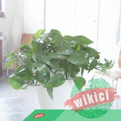 Cây trầu bà: Loại cây mang niềm may mắn trong phong thủy-3