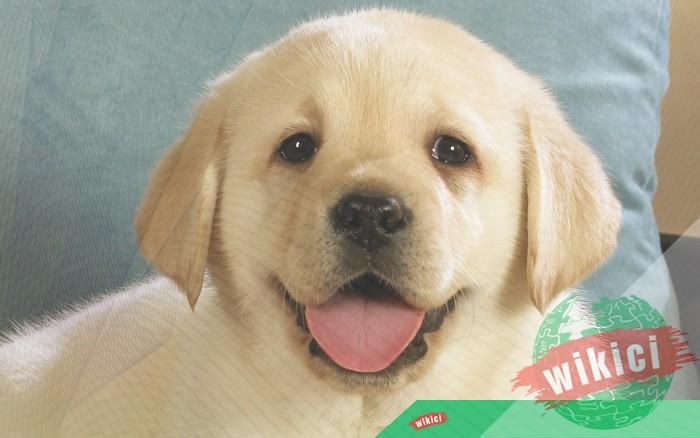 Hình nền con chó đẹp đáng yêu dễ thương nhất-15