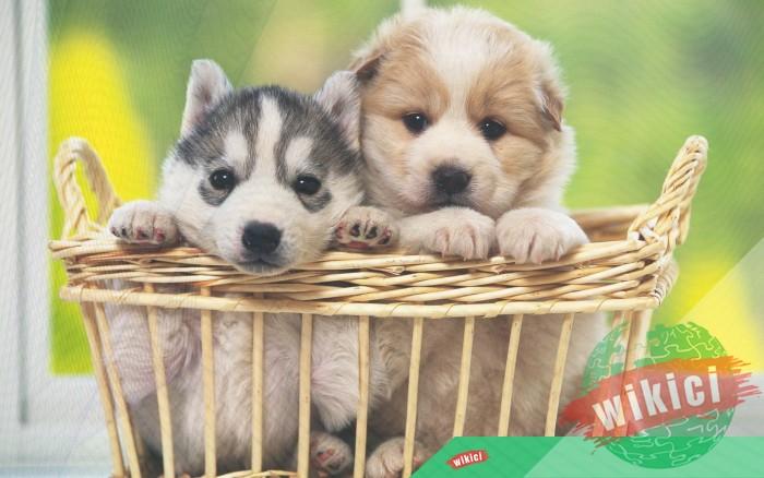 Hình nền con chó đẹp đáng yêu dễ thương nhất-2