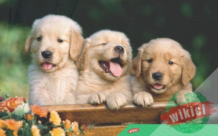 Hình nền con chó đẹp đáng yêu dễ thương nhất-21