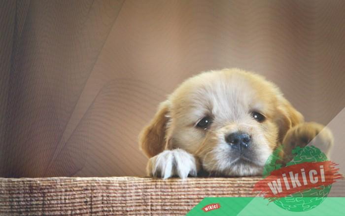 Hình nền con chó đẹp đáng yêu dễ thương nhất-23